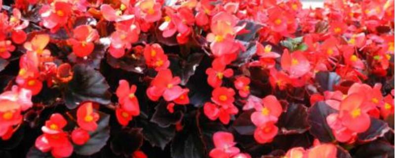 四季海棠花的扦插方法和时间