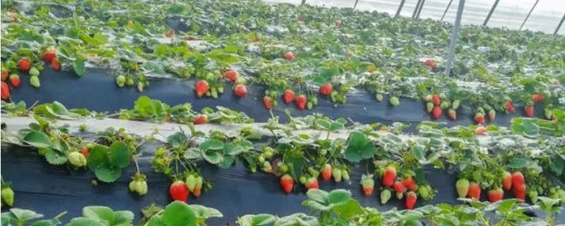 怎样种植草莓又大又甜