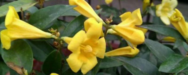 香水藤的养殖方法和注意事项