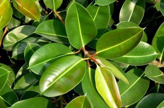 橡胶树盆栽的养殖方法和注意事项