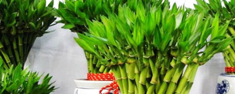 富贵竹水养技巧