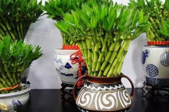 水培富贵竹的养殖方法和注意事项