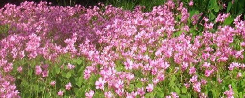 红三叶草的种植方法