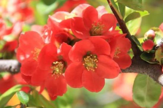 木瓜海棠花的养殖方法和注意事项 盆栽