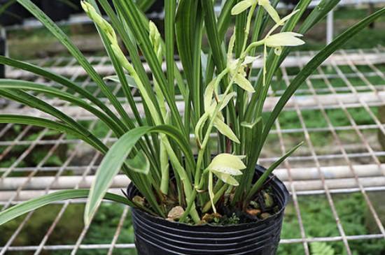 金边兰花怎么养殖方法和注意事项