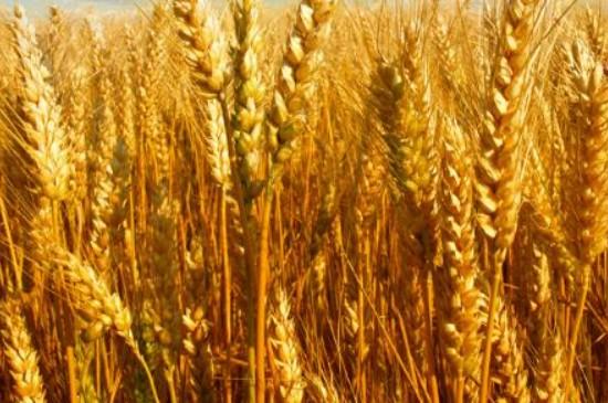 小麦发黄干叶是什么原因,怎么治疗