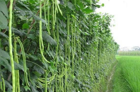 缸豆的种植时间和种植方法