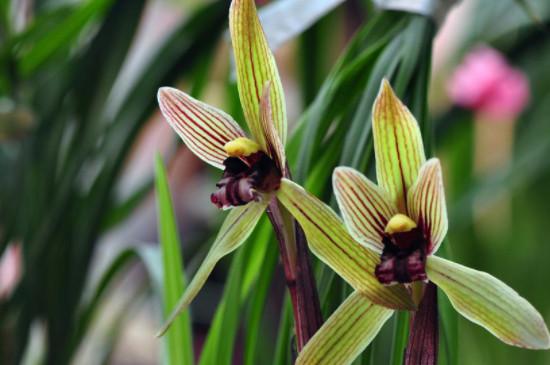 香兰花怎么养殖方法和注意事项