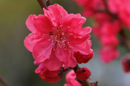 红梅花的养殖方法