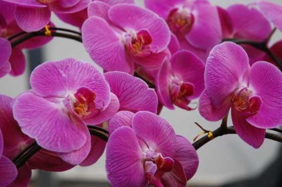 蝴蝶兰怎么养 兰花如何浇水