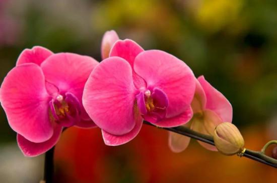 水苔种蝴蝶兰怎样浇水