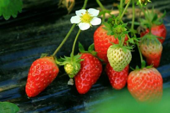 草莓怎么施肥和浇水