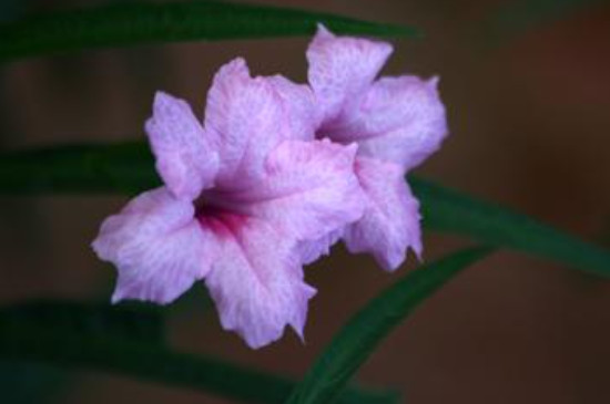 野生兰草花的养殖方法和注意事项
