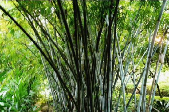 土养竹子叶子发黄原因