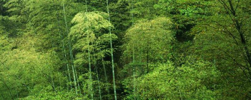 楠竹种子种植方法