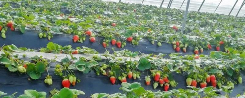 如何自己调配种草莓的营养土