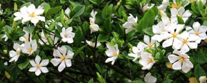 栀子花的养殖方法和注意事项 盆栽