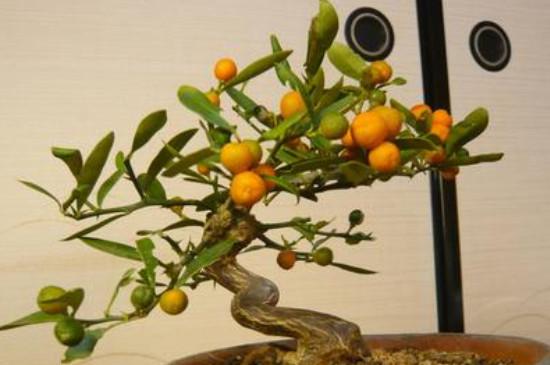 金豆盆景养殖方法和注意事项