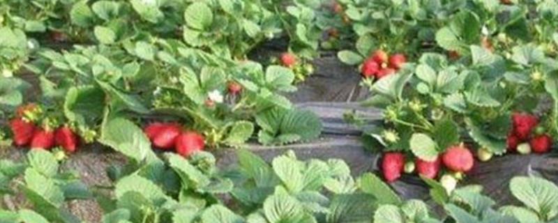 草莓苗的种植方法及管理