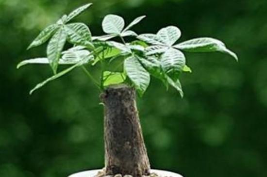 发财树的养殖方法和浇水