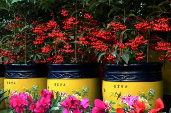 腰缠万贯花卉的管理和修剪