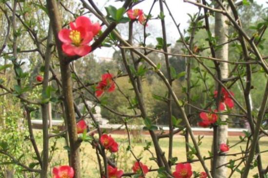 日本海棠盆栽的养殖方法和注意事项