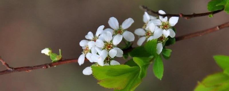 雪柳枝条可以插土种植吗