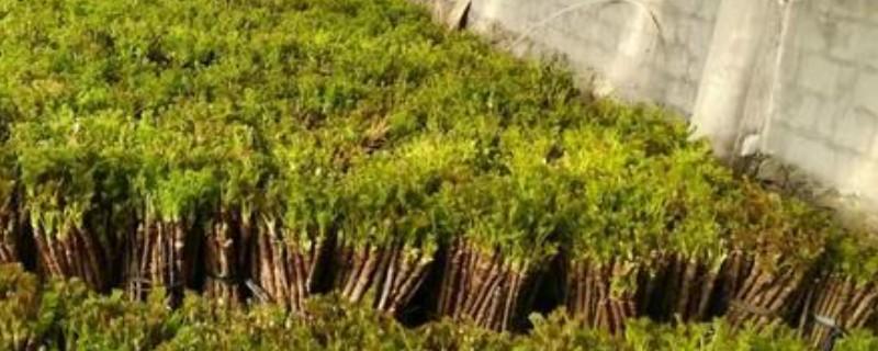 刺老芽怎么扦插能生根