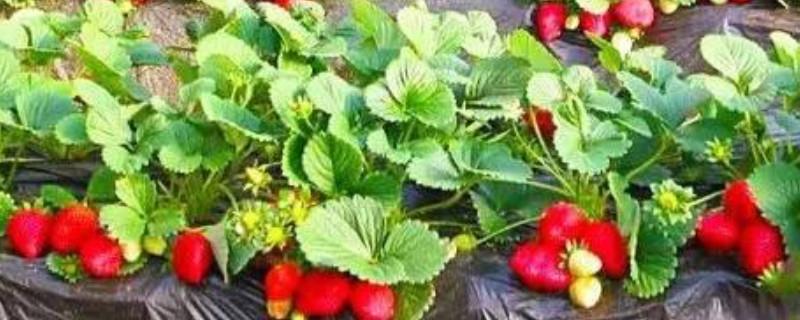 草莓叶子边缘发黑还能救么