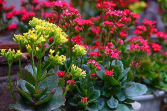 长寿花扦插多久能生根