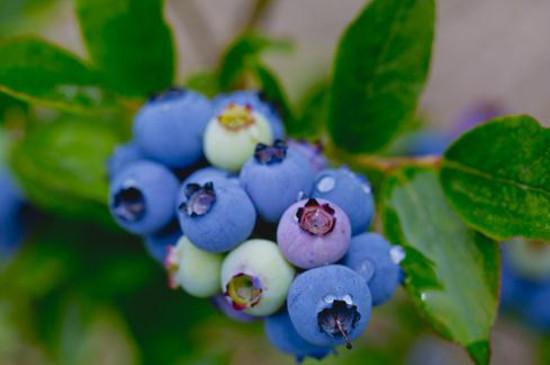 蓝莓苗怎么种植和养护