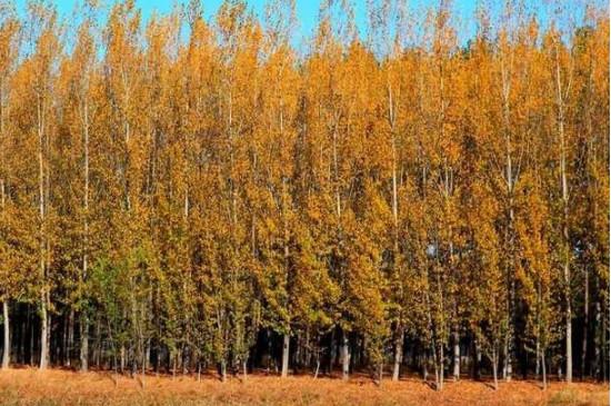 刚栽的杨树多久浇水好