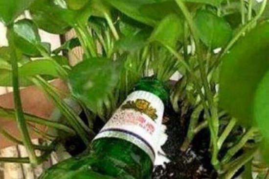 啤酒能浇花吗?适合浇什么花?怎样交法?