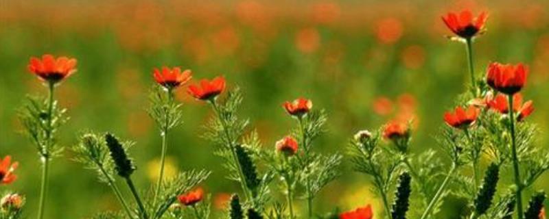 福寿花的种植方法及注意事项