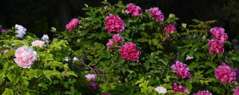 牡丹花和芍药花的区别