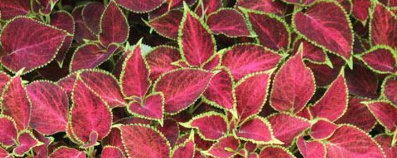 彩叶草的养殖方法和注意事项