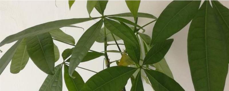 发财树的叶子发黄是怎么回事