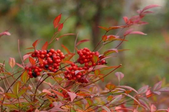 南天竹的养殖方法及繁殖方法
