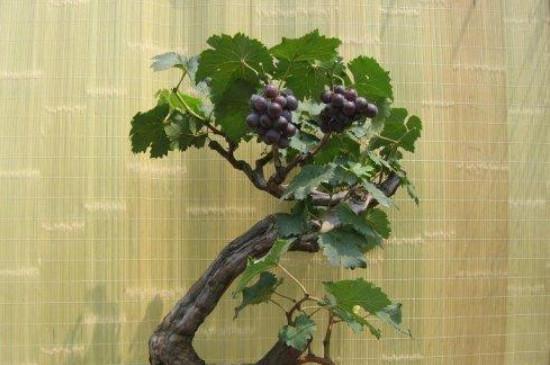 盆栽葡萄树的养殖方法和注意事项