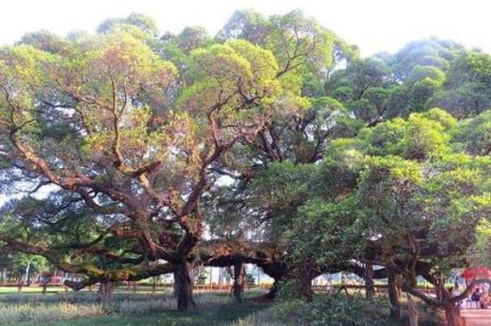 小榕树的养殖方法和注意事项
