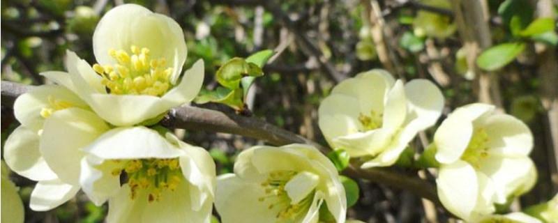 绿宝石海棠的养殖方法和注意事项