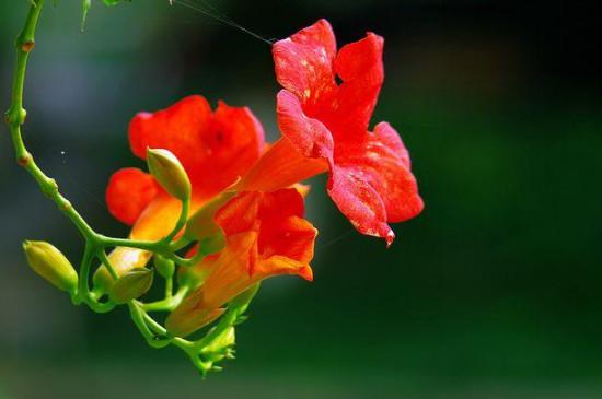 凌霄花的养殖方法