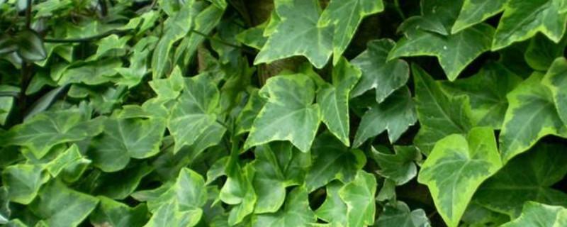 雪莹常春藤的养殖方法和注意事项