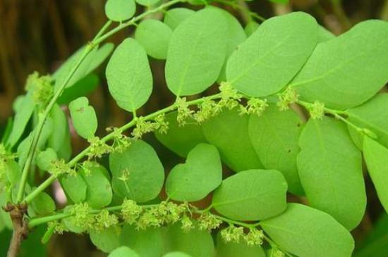 珍珠草的养殖方法和注意事项