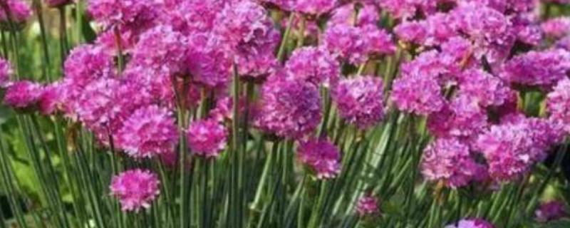 海石竹的养殖方法和注意事项