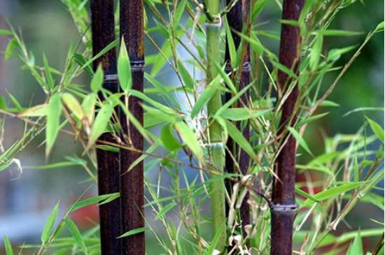竹子叶子干枯什么原因