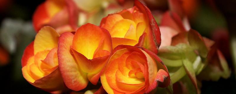 玻璃海棠花的养殖方法和修剪