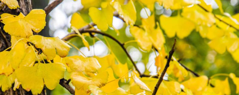 银杏树叶寓意什么