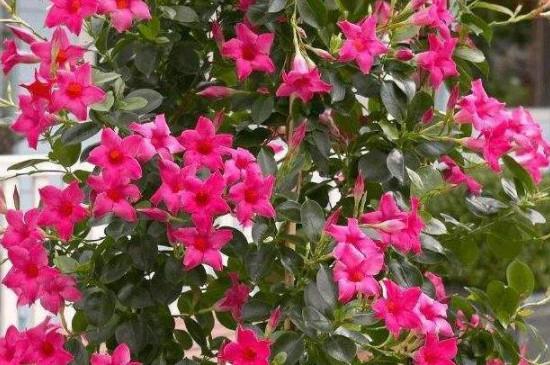 飘香藤冬季的养殖方法和注意事项