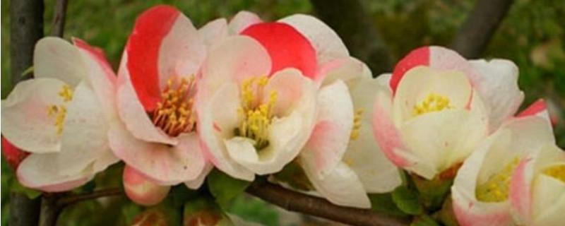 东洋锦与复色海棠的区别